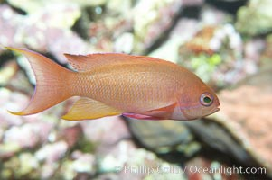 Lyretail fairy basslet, female., Pseudanthias squamipinnis, natural history stock photograph, photo id 11798