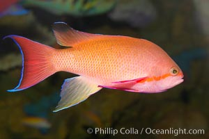 Lyretail fairy basslet, male., Pseudanthias squamipinnis, natural history stock photograph, photo id 12866