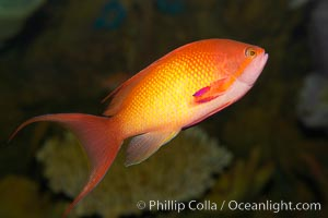 Lyretail fairy basslet, female., Pseudanthias squamipinnis, natural history stock photograph, photo id 12869