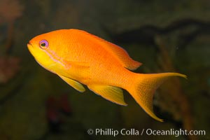 Lyretail fairy basslet, female., Pseudanthias squamipinnis, natural history stock photograph, photo id 12870