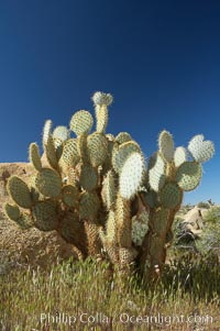 Unidentified cactus, Joshua Tree National Park, California