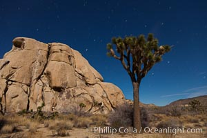 Joshua tree and stars, moonlit night. The Joshua Tree is a species of yucca common in the lower Colorado desert and upper Mojave desert ecosystems, Yucca brevifolia, Joshua Tree National Park
