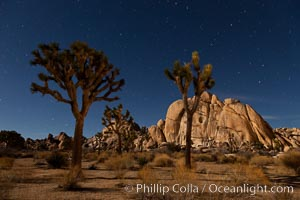 Joshua tree and stars, moonlit night. The Joshua Tree is a species of yucca common in the lower Colorado desert and upper Mojave desert ecosystems. Joshua Tree National Park, California, USA, Yucca brevifolia, natural history stock photograph, photo id 27713