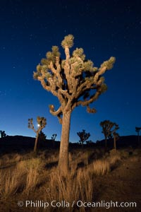 Joshua tree and stars at night. The Joshua Tree is a species of yucca common in the lower Colorado desert and upper Mojave desert ecosystems, Joshua Tree National Park, California