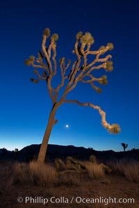 Joshua tree and stars at night. The Joshua Tree is a species of yucca common in the lower Colorado desert and upper Mojave desert ecosystems. Joshua Tree National Park, California, USA, natural history stock photograph, photo id 27812