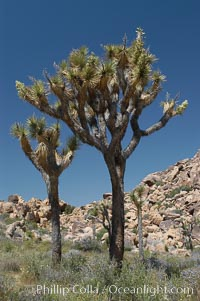 Joshua Trees, a tree form of yucca inhabiting the Mojave and Sonoran Deserts, Yucca brevifolia, Joshua Tree National Park, California