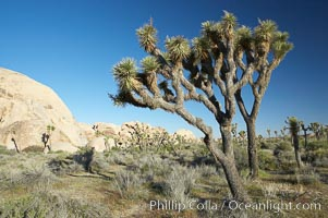 Joshua trees and strange rock formations characteristic of the Mojave desert region of Joshua Tree National Park, Yucca brevifolia