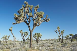 Image 12007, Joshua trees are found in the Mojave desert region of Joshua Tree National Park. Joshua Tree National Park, California, USA, Yucca brevifolia