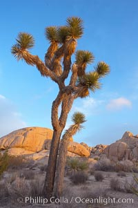 Joshua tree at sunrise.  Joshua trees are found in the Mojave desert region of Joshua Tree National Park. Joshua Tree National Park, California, USA, Yucca brevifolia, natural history stock photograph, photo id 20139