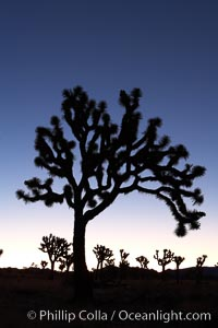 Joshua trees silhouetted against predawn sunrise light, Yucca brevifolia, Joshua Tree National Park