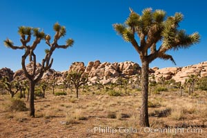 Joshua trees, a species of yucca common in the lower Colorado desert and upper Mojave desert ecosystems. Joshua Tree National Park, California, USA, Yucca brevifolia, natural history stock photograph, photo id 26732