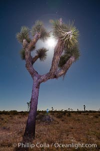 Joshua tree, moonlit night.  The Joshua Tree is a species of yucca common in the lower Colorado desert and upper Mojave desert ecosystems, Yucca brevifolia, Joshua Tree National Park, California