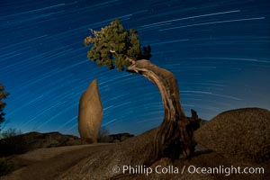 Image 27720, Juniper and star trails. Joshua Tree National Park, California, USA, Phillip Colla, all rights reserved worldwide. Keywords: astrophotography, dark, evening, galaxy, joshua tree national park, landscape, landscape astrophotography, nature, night, nightscape, noctural, outdoors, outside, rock, scene, scenery, scenic, sky, star field, star trail, starscape, view.