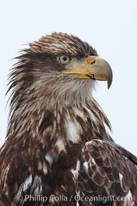 Juvenile bald eagle, second year coloration plumage, closeup of head and shoulders, snowflakes visible on feathers.    Immature coloration showing white speckling on feathers, Haliaeetus leucocephalus, Haliaeetus leucocephalus washingtoniensis, Kachemak Bay, Homer, Alaska