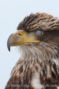 Juvenile bald eagle, translucent nictating membrane drawn completely across eye, second year coloration plumage, closeup of head, snowflakes visible on feathers.    Immature coloration showing white speckling on feathers, Haliaeetus leucocephalus, Haliaeetus leucocephalus washingtoniensis, Kachemak Bay, Homer, Alaska