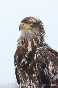 Juvenile bald eagle, second year coloration plumage, head, shoulders and upper body, snowflakes visible on feathers.    Immature coloration showing white speckling on feathers, Haliaeetus leucocephalus, Haliaeetus leucocephalus washingtoniensis, Kachemak Bay, Homer, Alaska