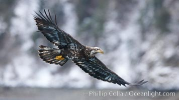 Juvenile bald eagle, second year coloration plumage, immature coloration showing white speckling on feathers. Kenai Peninsula, Alaska, USA, Haliaeetus leucocephalus, Haliaeetus leucocephalus washingtoniensis, natural history stock photograph, photo id 22845