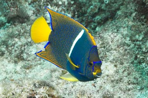 Juvenile King angelfish in the Sea of Cortez, Mexico. Baja California, Holacanthus passer, natural history stock photograph, photo id 27472