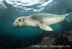 Juvenile Northern Elephant Seal Underwater, Coronado Islands, Mexico, Mirounga angustirostris, Coronado Islands (Islas Coronado)