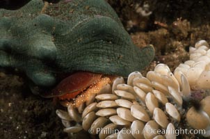 Kellets whelk laying eggs. La Jolla, California, USA, Kelletia kelleti, natural history stock photograph, photo id 02553