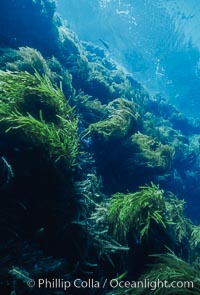 Kelp and Wall at Isla Afuera, Guadalupe Island, Mexico, Guadalupe Island (Isla Guadalupe)