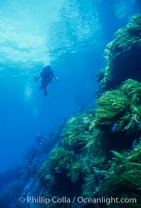 Kelp and Wall at Isla Afuera, Guadalupe Island, Mexico, Guadalupe Island (Isla Guadalupe)