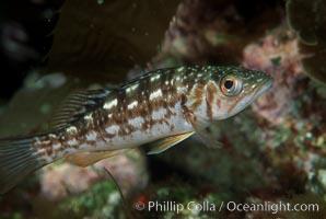 Juvenile kelp bass (calico bass) hiding amidst rocks on the reef, Paralabrax clathratus, San Clemente Island