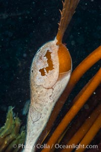 Encrusting bryozoans colonize a giant kelp pneumatocyst (bubble).  Approximately 3 inches (8cm), Membranipora, Macrocystis pyrifera, San Nicholas Island