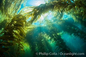 A kelp forest, with sunbeams passing through kelp fronds. Giant kelp, the fastest growing plant on Earth, reaches from the rocky bottom to the ocean's surface like a submarine forest, Catalina Island