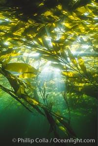 Kelp Forest, Geronimo Island, Geronimo Island (Isla San Jeronimo)