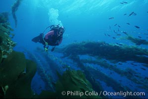 Diver in kelp, Macrocystis pyrifera, San Clemente Island