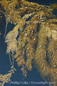 Kelp fronds grow upward from the reef below to reach the ocean surface and spread out to form a living canopy, Macrocystis pyrifera, San Clemente Island