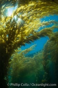 The Kelp Forest offshore of La Jolla, California. A kelp forest. Giant kelp grows rapidly, up to 2' per day, from the rocky reef on the ocean bottom to which it is anchored, toward the ocean surface where it spreads to form a thick canopy. Myriad species of fishes, mammals and invertebrates form a rich community in the kelp forest. Lush forests of kelp are found through California's Southern Channel Islands. La Jolla, California, USA, Macrocystis pyrifera, natural history stock photograph, photo id 30988