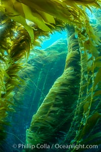 The Kelp Forest of San Clemente Island, California. A kelp forest. Giant kelp grows rapidly, up to 2' per day, from the rocky reef on the ocean bottom to which it is anchored, toward the ocean surface where it spreads to form a thick canopy. Myriad species of fishes, mammals and invertebrates form a rich community in the kelp forest. Lush forests of kelp are found throughout California's Southern Channel Islands. San Clemente Island, California, USA, Macrocystis pyrifera, natural history stock photograph, photo id 34610