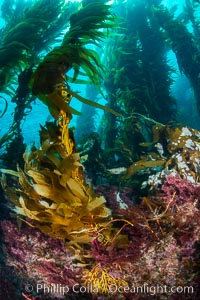 The Kelp Forest of San Clemente Island, California. A kelp forest. Giant kelp grows rapidly, up to 2' per day, from the rocky reef on the ocean bottom to which it is anchored, toward the ocean surface where it spreads to form a thick canopy. Myriad species of fishes, mammals and invertebrates form a rich community in the kelp forest. Lush forests of kelp are found throughout California's Southern Channel Islands. San Clemente Island, California, USA, Macrocystis pyrifera, natural history stock photograph, photo id 34611