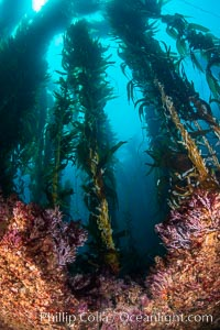 The Kelp Forest of San Clemente Island, California. A kelp forest. Giant kelp grows rapidly, up to 2' per day, from the rocky reef on the ocean bottom to which it is anchored, toward the ocean surface where it spreads to form a thick canopy. Myriad species of fishes, mammals and invertebrates form a rich community in the kelp forest. Lush forests of kelp are found throughout California's Southern Channel Islands. San Clemente Island, California, USA, Macrocystis pyrifera, natural history stock photograph, photo id 34612