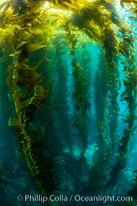 The Kelp Forest of San Clemente Island, California. A kelp forest. Giant kelp grows rapidly, up to 2' per day, from the rocky reef on the ocean bottom to which it is anchored, toward the ocean surface where it spreads to form a thick canopy. Myriad species of fishes, mammals and invertebrates form a rich community in the kelp forest. Lush forests of kelp are found throughout California's Southern Channel Islands. San Clemente Island, California, USA, Macrocystis pyrifera, natural history stock photograph, photo id 34614