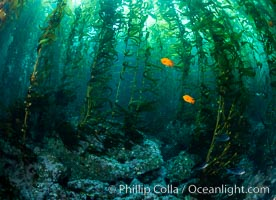 Kelp Forest, Santa Barbara Island. California, USA, natural history stock photograph, photo id 35829