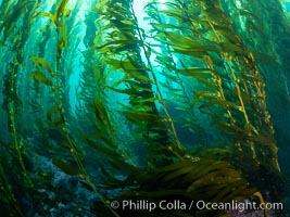 Kelp Forest, Santa Barbara Island
