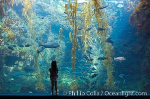 A young visitor admires the enormous kelp forest tank in the Stephen Birch Aquarium at the Scripps Institution of Oceanography.  The 70000 gallon tank is home to black seabass, broomtail grouper, garibaldi, moray eels and leopard sharks. La Jolla, California, USA, natural history stock photograph, photo id 14545