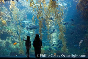 Image 14546, Visitors admire the enormous kelp forest tank in the Stephen Birch Aquarium at the Scripps Institution of Oceanography.  The 70000 gallon tank is home to black seabass, broomtail grouper, garibaldi, moray eels and leopard sharks. Stephen Birch Aquarium, La Jolla, California, USA