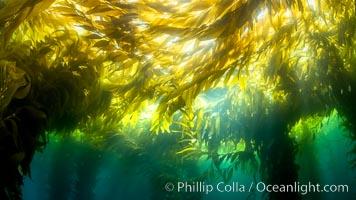 Kelp forest near Eagle Rock, West End, Catalina Island