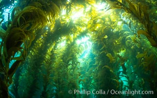 Kelp forest at West End, Catalina Island