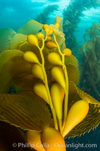 Kelp fronds and pneumatocysts. Pneumatocysts, gas-filled bladders, float the kelp plant off the ocean bottom toward the surface and sunlight, where the leaf-like blades and stipes of the kelp plant grow fastest. Giant kelp can grow up to 2' in a single day given optimal conditions. Epic submarine forests of kelp grow throughout California's Southern Channel Islands. Catalina Island, California, USA, natural history stock photograph, photo id 34167