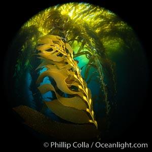 Kelp fronds and pneumatocysts, giant kelp forest, Catalina Island