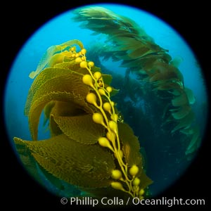 Kelp fronds and pneumatocysts. Pneumatocysts, gas-filled bladders, float the kelp off the ocean bottom toward the surface and sunlight, where the leaf-like blades and stipes of the kelp plant grow fastest. Catalina Island, California, Macrocystis pyrifera