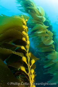 Kelp fronds and pneumatocysts. Pneumatocysts, gas-filled bladders, float the kelp off the ocean bottom toward the surface and sunlight, where the leaf-like blades and stipes of the kelp plant grow fastest. Catalina Island, California