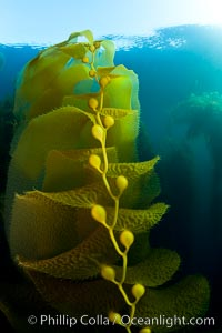Kelp fronds and pneumatocysts.  Pneumatocysts, gas-filled bladders, float the kelp plant off the ocean bottom toward the surface and sunlight, where the leaf-like blades and stipes of the kelp plant grow fastest.  Giant kelp can grow up to 2' in a single day given optimal conditions.  Epic submarine forests of kelp grow throughout California's Southern Channel Islands. San Clemente Island, USA, Macrocystis pyrifera, natural history stock photograph, photo id 25399