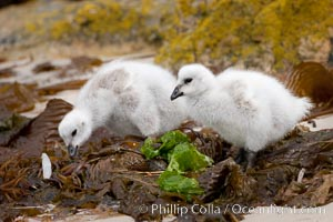Kelp goose chicks eating kelp (seaweed).  The kelp goose is noted for eating only seaweed, primarily of the genus ulva.  It inhabits rocky coastline habitats where it forages for kelp, Chloephaga hybrida, Chloephaga hybrida malvinarum, New Island