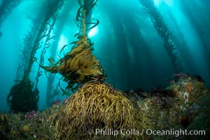 Kelp holdfast secures the kelp to the submarine rocky reef near Eagle Rock, West End, Catalina Island